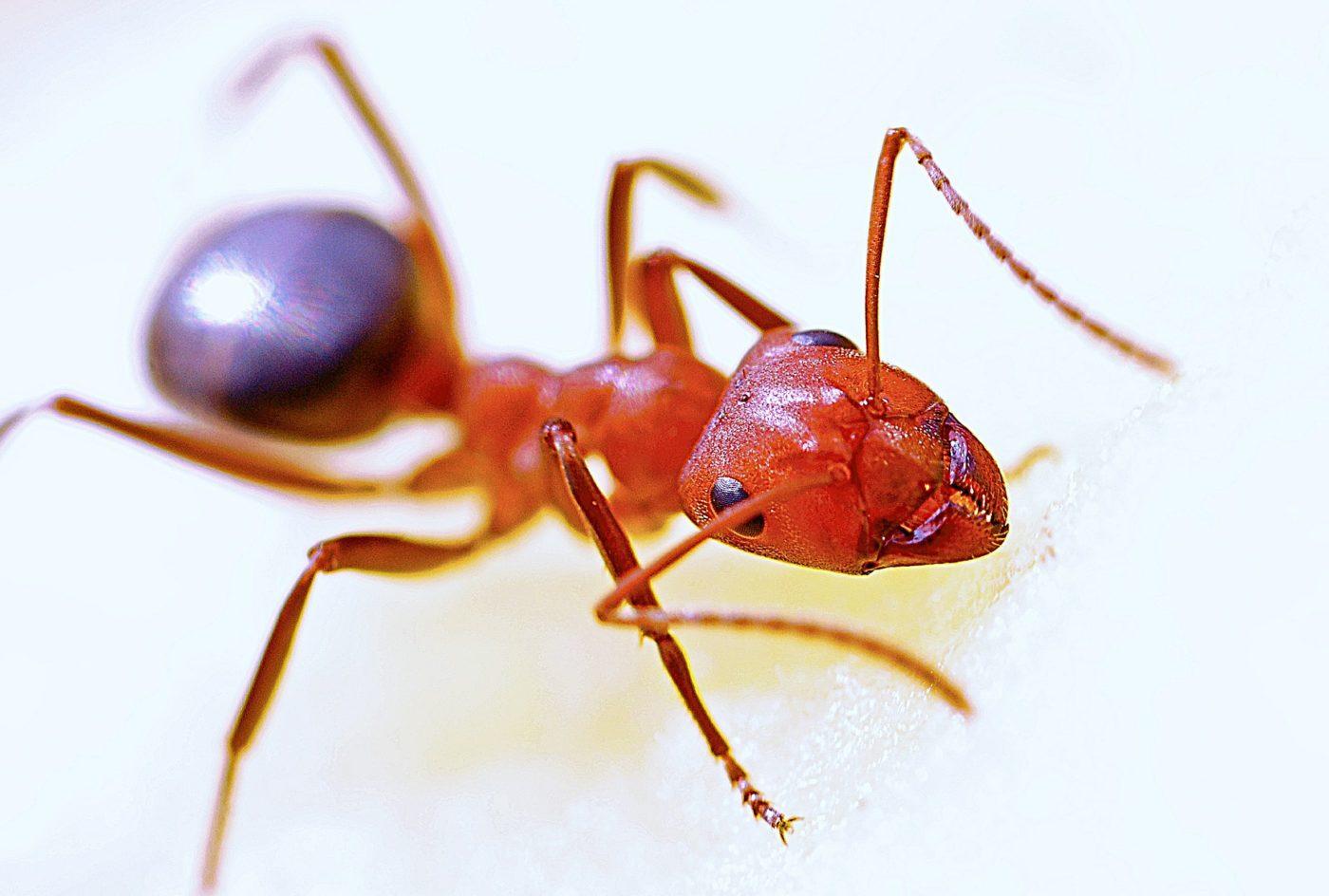 Die Ameisenkolonie in der Ameisenfarm